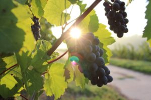 french-wine-grapes